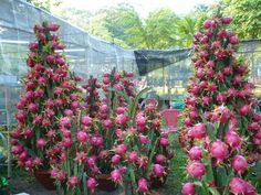 A Pitaya também pode ser cultivada e comercializada em vasos.