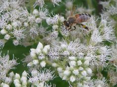 BEE GATHERING POLLIN from a beautiful flowering plant (name unknown).   How will you use this image?