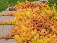 Sedum Angelina, stone crop Takes on golden - orange hues in Fall