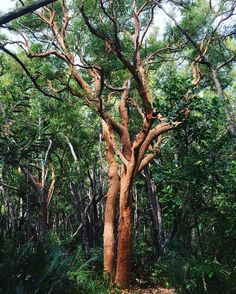 The angophora tree sheds its bark around this time each year leaving a stunning orange/red trunk which tends to stand out in the the green of the bush! It's a timely reminder that we like nature can change and transform too. Either shedding what no longer serves us decluttering our lives or changing the way we approach the world. What are you transforming this year? Australian Garden, Decluttering, Orange Red, Sheds, Our Life, Coaching, Gardens, Yard, Leaves