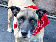 ADOPTED!! - TO BE DESTROYED - 09/19/14 SUPER URGENT 9/17/14 Manhattan Center JACKSON - A1014059 MALE, TAN / BLACK, BELG MALINOIS, 10 yrs STRAY - STRAY WAIT, NO HOLD