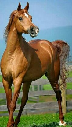 Puríssimo Beautiful Arabian Horses, Most Beautiful Horses, Majestic Horse, All The Pretty Horses, Horses And Dogs, Cute Horses, Horse Love, Horse Photos, Horse Pictures