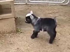"""""""Cute Baby Pygmy Goats Compilation""""    CFS - YouTube"""