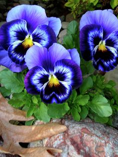 """Wonderful Snap Shots Pansies flowers Suggestions Pansies will be the decorative roses with """"faces."""" A new cool-weather favorite, pansies are fantastic fo Fleur Pansy, Purple Flowers, Beautiful Flowers, Colorful Flowers, Spring Flowers, Flower Pictures, Flower Art, Pansy Flower, Flower Ideas"""