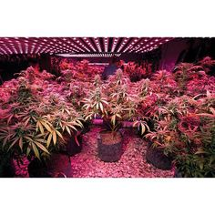 Aquaponic and LED combo. Nice garden! Photocredit to canna_obscura (IG) #Weed #Growing #Marijuana