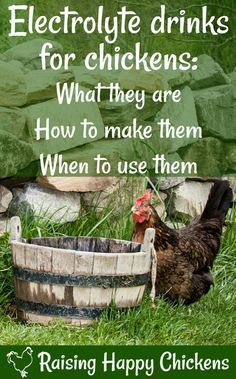 Home made electrolyte drinks for chickens: why they're necessary, what they need to contain to be effective and how you can make them at home from items in your store-cupboard.
