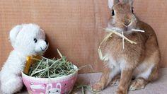 Ichigo san 471 いちごさんうさぎ rabbit bunny netherlanddwarf brown cute pet family ichigo ネザーランドドワーフ ペット いちご うさぎ