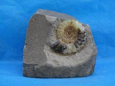 Ammonite Promicoceras (Charmouth, Dorset 03042015/0080)