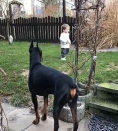 Doberman Training video Doberman Shepherd, Doberman Pinscher Dog, Doberman Dogs, Animals And Pets, Funny Animals, Cute Animals, Doberman Training, Most Beautiful Dogs, Dog Rooms