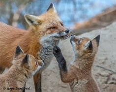 The Fox Family - Mother fox and her kits in Algonquin Park.