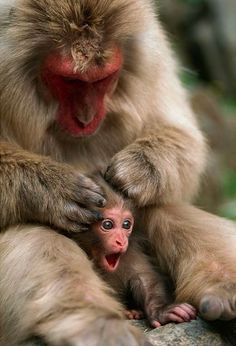 mom, my little hairs!-A week-old monkey makes its delight known as its mum gives it a grooming head massage. The young Japanese macaque sheltered close to its caring mum as she helped keep it clean at Jigokudani Hot Springs in Nagano Prefecture, Japan The Animals, Cute Baby Animals, Funny Animals, Primates, Mammals, Beautiful Creatures, Animals Beautiful, Photo Animaliere, Tier Fotos