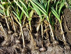 Growing Your Own Garlic Is Easy!