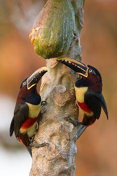 Foto araçari-castanho (Pteroglossus castanotis) por Octavio Campos Salles
