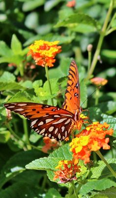 A picture of passion butterfly - About Wild Animals