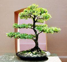 bonsai ucaro negro