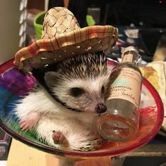 Facts About Hedgehog Pet Cute Little Animals, Cute Funny Animals, Cute Dogs, Cute Babies, Baby Animals Pictures, Cute Animal Pictures, Animals And Pets, Baby Hedgehog, Baby Hamster