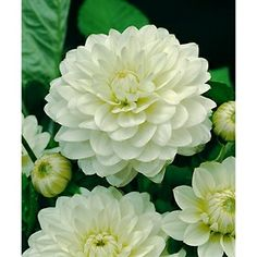 I love the texture of these white Dahlias