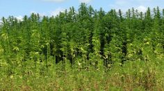 For The First Time In 70 Years Virginia Is Harvesting Hemp Again https://www.greenrushdaily.com/2016/11/16/virginia-harvesting-hemp?utm_source=rss&utm_medium=Friendly+Connect&utm_campaign=RSS @greenrushdaily #Cannabis