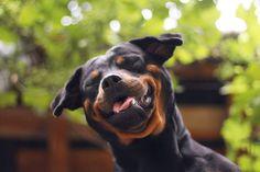 dog, happy, cute, pet, smile, funny