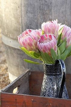 Protea, need for the office garden (cut flowers).