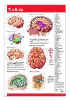 Brain (Poster Size) - Human Brain