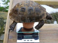 Weighing and Measuring your Tortoise, Tortoise Observation Chart - The Tortoise table