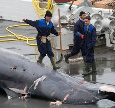 Blue whale harpooned by cannon and butchered: Millionaire whaler Kristjan Loftsson vows to carry on killing