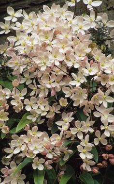Clematis armandii 'Apple Blossom' is one of the earliest to flower in March and April. It is evergreen. The pinkish-white flowers smell deliciously of almonds. It likes a position in full sun or partial shade where it will make 15'-25'/4.5-7.5m in neutral but well-drained soil. Like all Clematis it will benefit from a top-dressing of bonemeal in Spring.