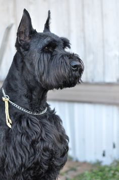 Ranked as one of the most popular dog breeds in the world, the Miniature Schnauzer is a cute little square faced furry coat. Schnauzer Mix, Schnauzers, Schnauzer Grooming, Standard Schnauzer, Miniature Schnauzer Puppies, Giant Schnauzer, Dog Grooming, Big Dogs, I Love Dogs