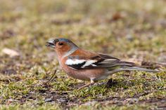 The common chaffinch (T.Kansanaho)