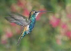 Resultado de imagen para fotos de picaflor o colibri