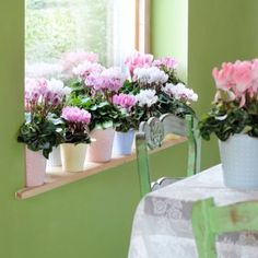 El ciclamen es la planta del invierno por antonomasia, ideal como humidificador, es en otoño e invierno, cuando en el interior de