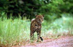 The Magnificent Jaguar Guyana National Animal