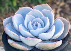 "Succulent Plant Echeveria Subsessilis // Live Succulents in 2.5"" Nursery Pot"