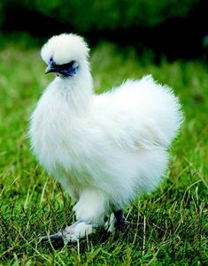 This ancient breed is tiny, light and easy to handle with some unusual features. Rare Chicken Breeds, Bantam Chicken Breeds, Bantam Chickens, Pet Chickens, Raising Chickens, Chicken Breeds For Eggs, Raising Goats, Breeds Of Chickens, Dog Breeds
