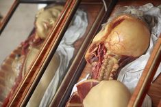 moshita: Wax Anatomical Models in Rosewood and Venetian Glass Boxes, Workshop of Clemente Susini of Florence circa Institut f. Anatomy Park, Anatomy Study, Anatomy Drawing, Anatomy Sculpture, Anatomy Practice, Anatomy Models, Glass Boxes, Medical Science, Medical History
