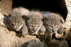 Too cute! Sadly, these babies are as rare as they are adorable - The World Wildlife Foundation estimates that with only 38 breeding females left in the wild, the Iberian lynx is likely to become extinct within 10-20 years if nothing is done.    Read more: http://newsfeed.time.com/2012/08/16/photos-the-15-cutest-endangered-animals-in-the-world/slide/iberian-lynx-cubs/##ixzz246Enog3d