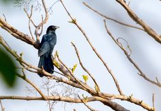 siddharthx posted a photo:  The Asian koel is a large, long-tailed, cuckoo. The male of the nominate race is glossy bluish-black, with a pale greenish grey bill, the iris is crimson, and it has grey legs and feet. The female of the nominate race is brownish on the crown and has rufous streaks on the head. The back, rump and wing coverts are dark brown with white and buff spots. The underparts are whitish, but is heavily striped. The other subspecies differ in colouration and size. The upper…