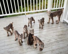 Back in September Tim Newton was woken up by an unfamiliar sound which led him to witness a miraculous scene of a Lynx family scampering outside his home in Alaska. These magnificent creatures were playing and frolicking across his deck and lawn. Tim Newton PhotographyTheir visit wa... #BigCatFamily