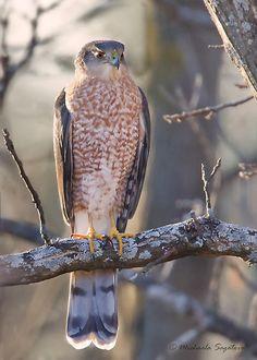 'Cooper's Hawk at early dusk' by PixlPixi Pretty Birds, Beautiful Birds, American Flag Drawing, Different Horse Breeds, Cooper's Hawk, Bird Guides, Bird House Feeder, Kinds Of Birds, Backyard Birds