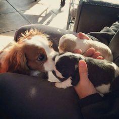 Find Out More On Smart Cavalier King Charles Spaniel Cavalier King Charles Blenheim, King Charles Spaniel, Cute Puppies, Cute Dogs, Spaniel Dog, Dog Hacks, Puppy Love, Doge, Dog Cat