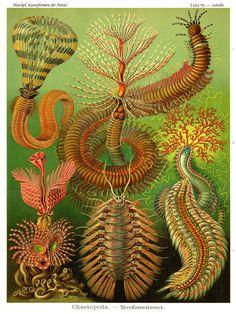 Vintage Ernst Haeckel Plate 96 Chaetopoda