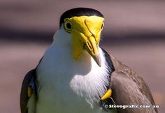 Masked Lapwing  (Vanellus miles), also known as the masked plover and often called the spur-winged plover  ||  by Stevegrafix.com.au