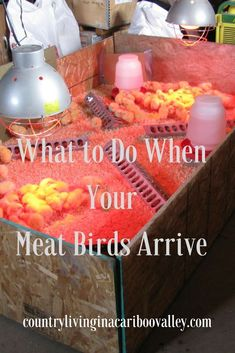What to do When Your Meat Birds Arrive - Will you be Ready? Raising Meat Chickens, Raising Backyard Chickens, Keeping Chickens, Raising Quail, Backyard Farming, Turkey Farm, Chicken Incubator, Building A Chicken Coop, Baby Chicks