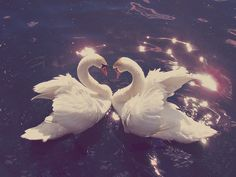 Swans. we have some that live in a secret pond by our cabin, they're really cool!