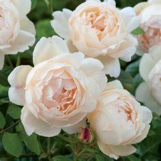 Wollerton Old Hall - David Austin Roses 1.5x1m