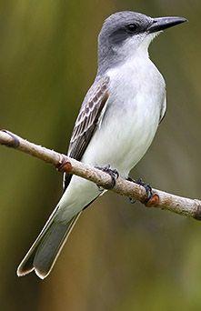 Gray Kingbird.  Apr 13, 1997 *St Mark's NWR, FL Photo, Gray Kingbird - Google Search
