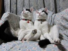 Mirror image: A pair of cats cuddle up on the sofa to watch their favourite TV shows Cat Selfie, Cat Sitting, Mirror Image, New Image, Cuddling, Cute Cats, Favorite Tv Shows, Cute Animals, Kitty