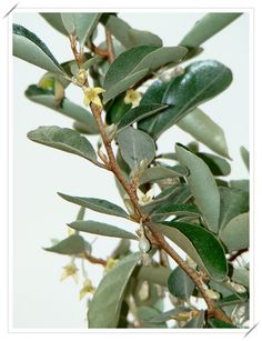 椬梧(宜梧) @ 一個人與花草的生活 :: 隨意窩 Xuite日誌 Plant Leaves, Plants, Plant, Planets