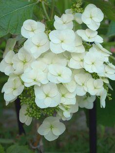 white flower, my garden, spring